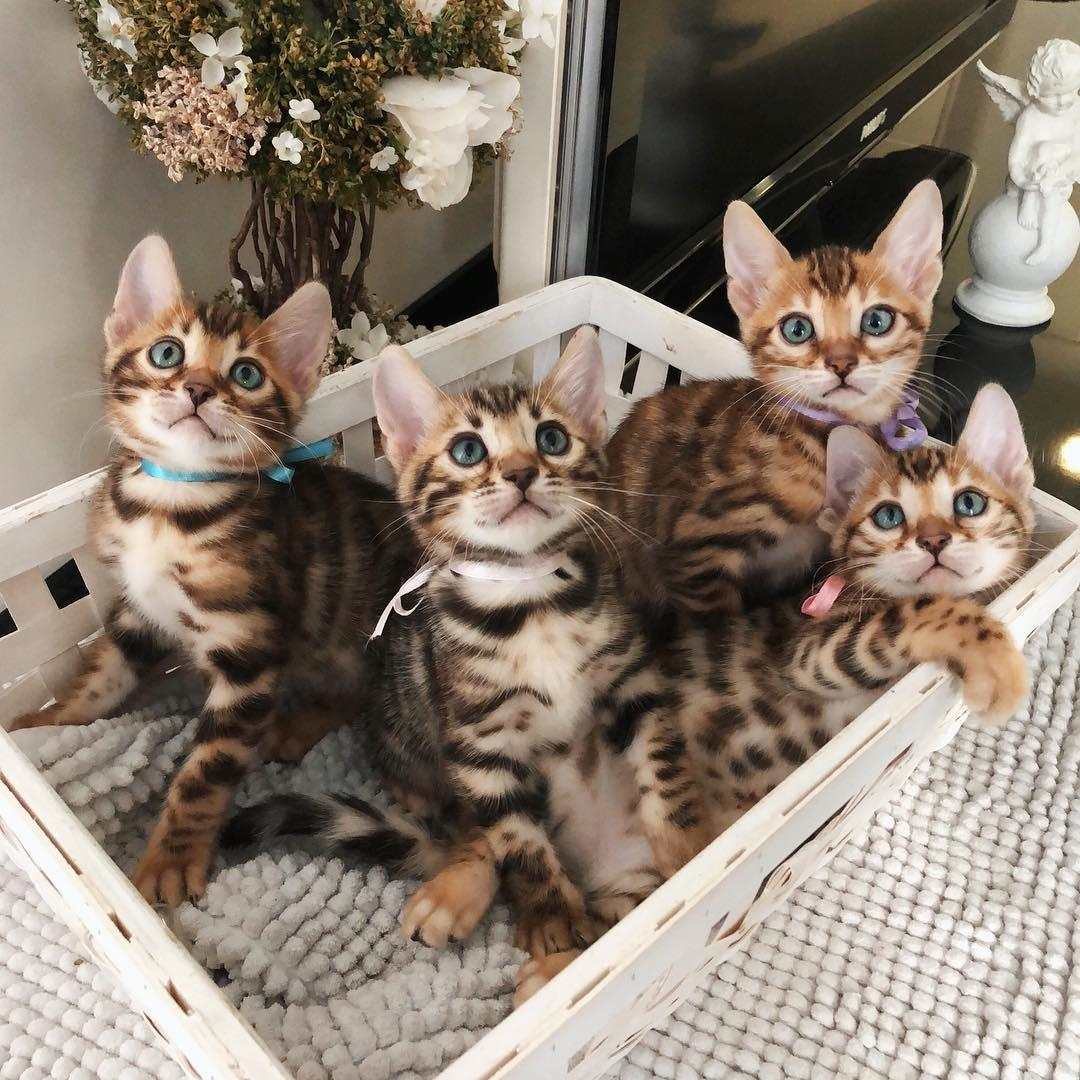 Adorable Cuddle Bengal Kittens For asale