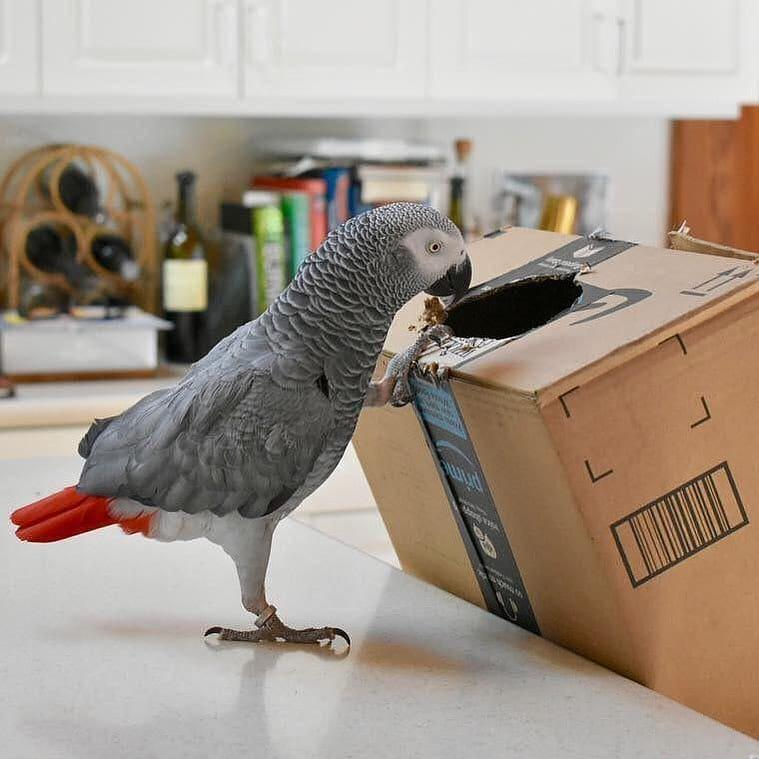 AMAZING CONGO GREY PARROTS READY FOR RE-HOMING.
