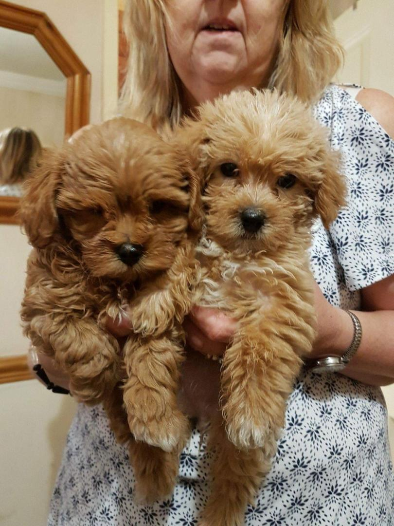 Cockapoo puppy for adoption