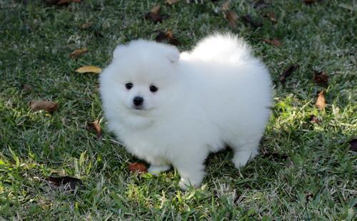 Pomerania puppies available