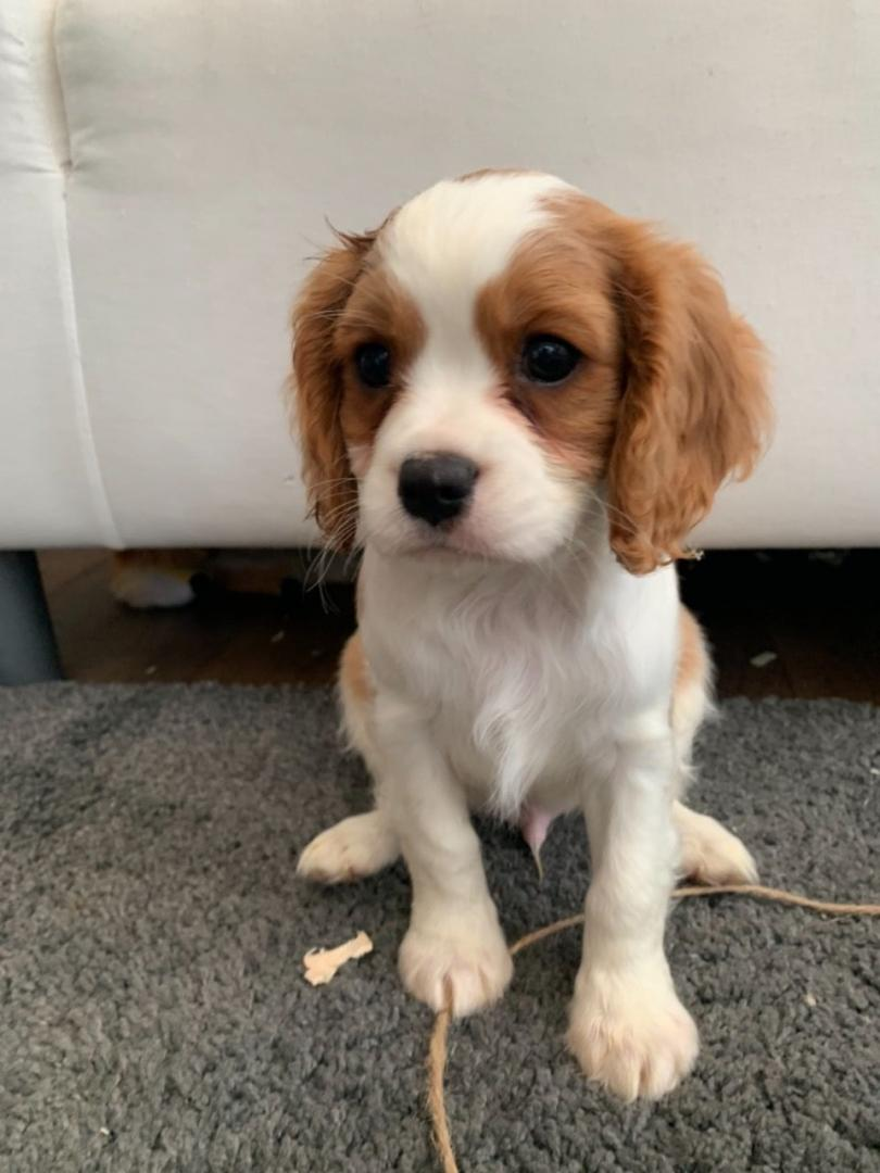 Cavalier King Charles Puppies.