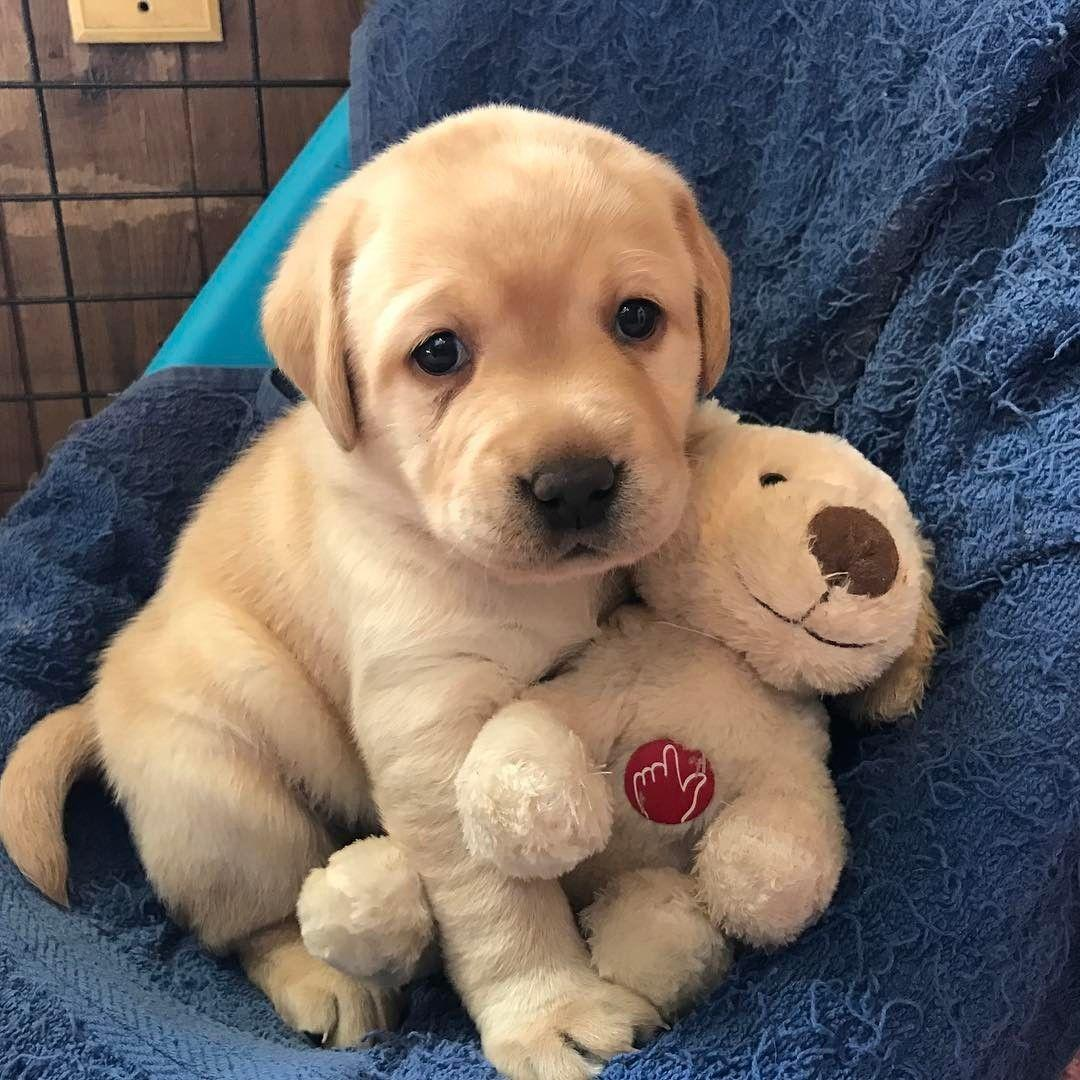 Available Labrador Puppies for sale