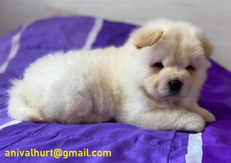 Available Chow Chow Puppies ready for sale